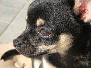 Chihuahuarüde