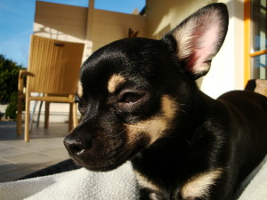 Hunderasse Chihuahua