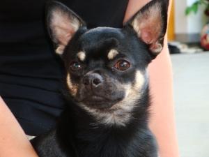 Chihuahua Ernährung Ratgeber Tipps