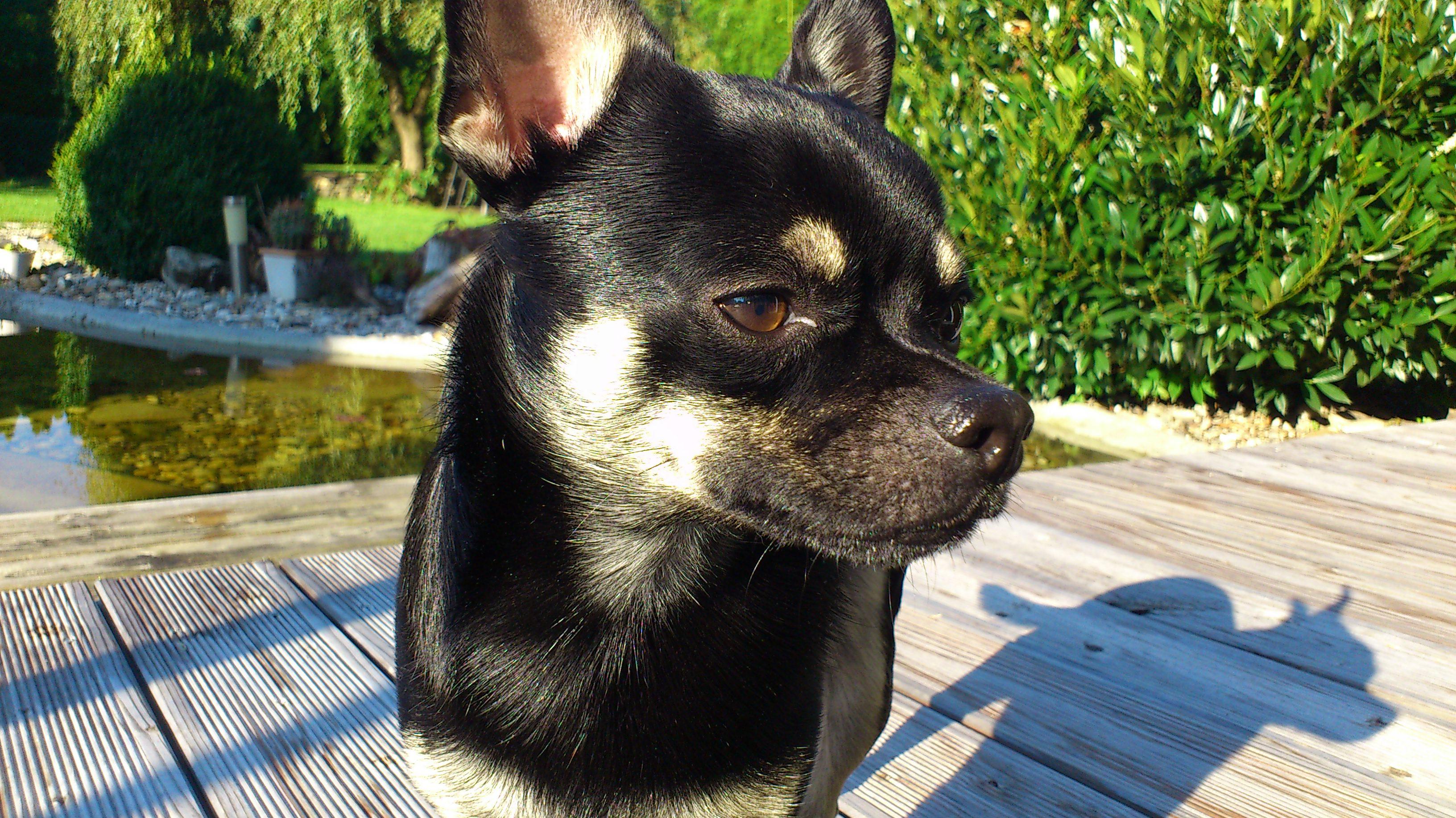 Bild Chihuahua