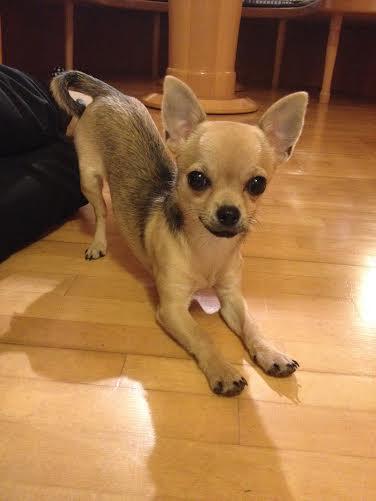 Die Chihuahuaseite