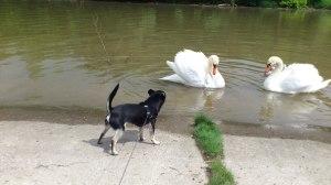 ein Chihuahua am Fluss mit Schwänen