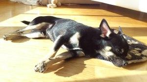 ein Chihuahua nimmt ein Sonnenbad